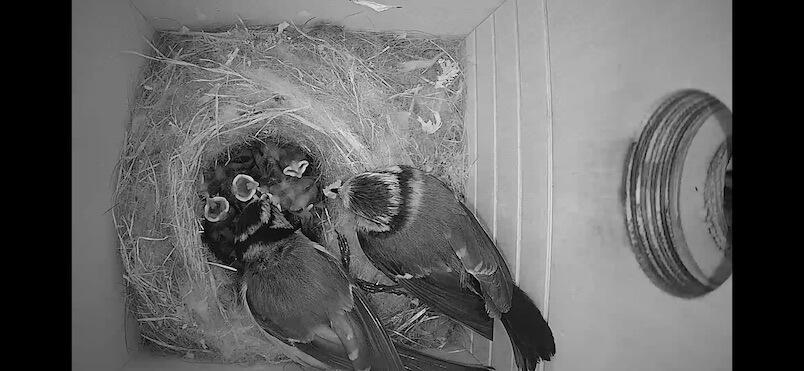 Ptačí budka - rodiče krmí ptáčátka